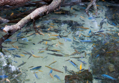 Tropical African Cichlid Pond.