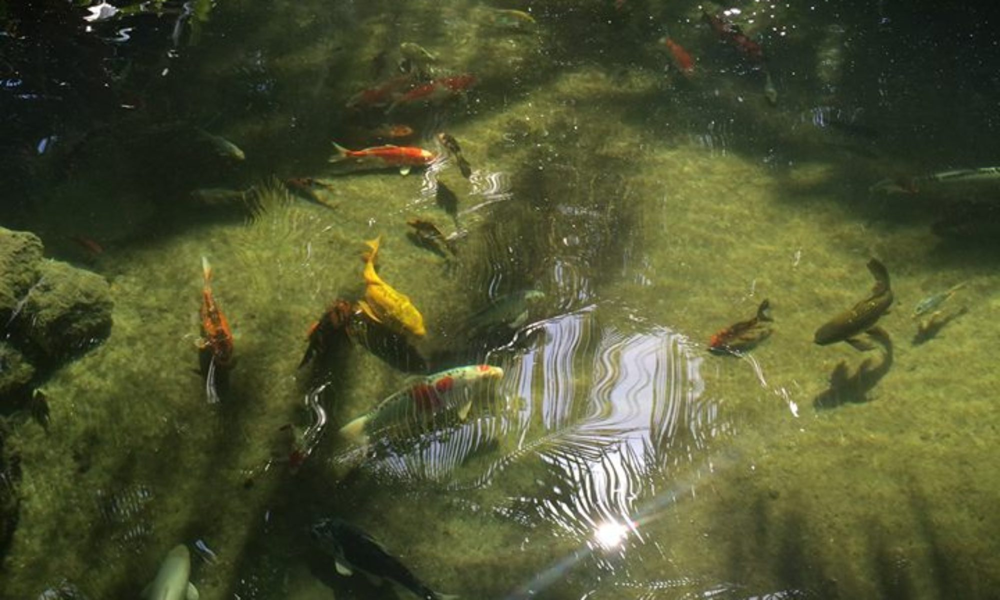 Miami Koi Pond