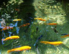 Pond Alchemy Cichlid Pond